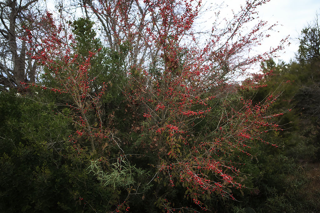 possumhaw holly mother natures son